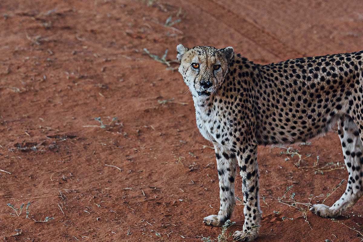 Gepard im Gehege der Lodge