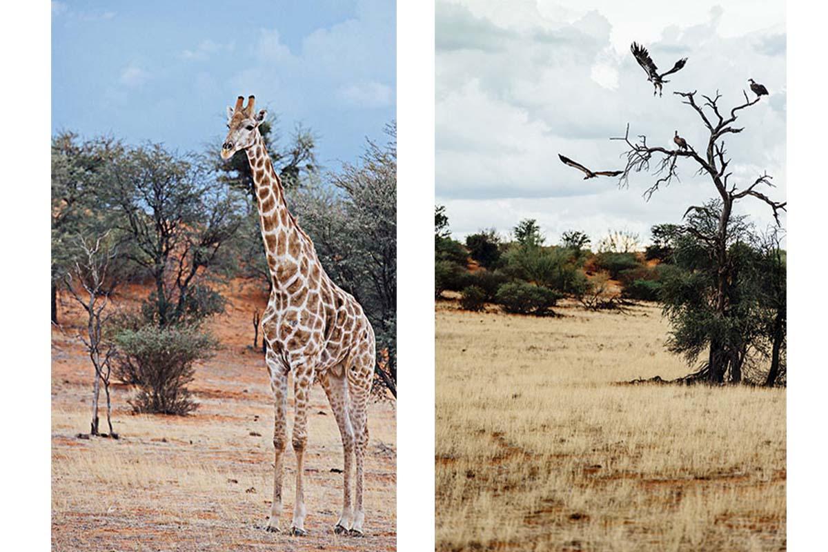 Giraffe in der Kalahari Wüste, Geier kreisen über der Kalahari