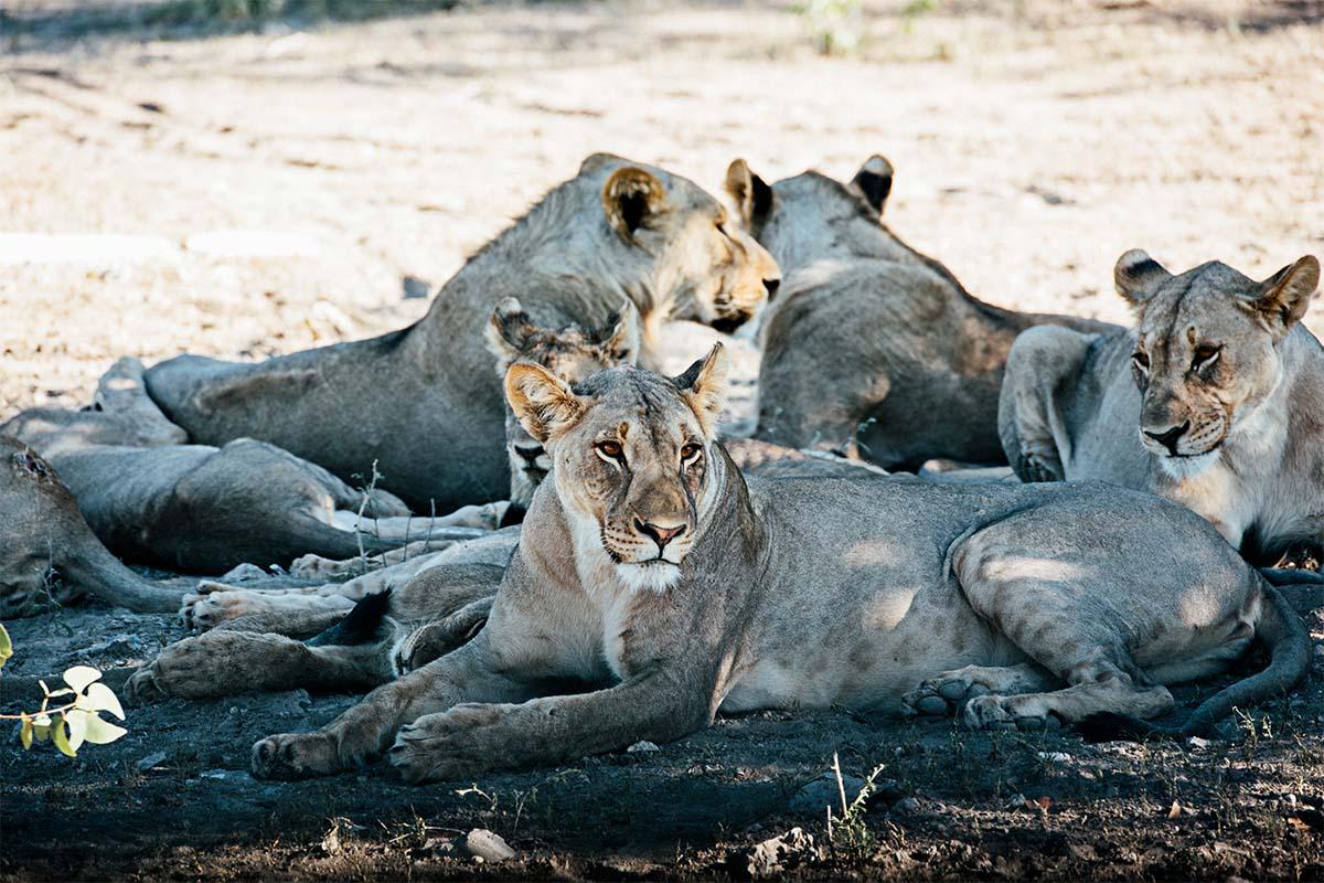Löwenrudel in Namibia am Rande der Ethosha-Pfanne