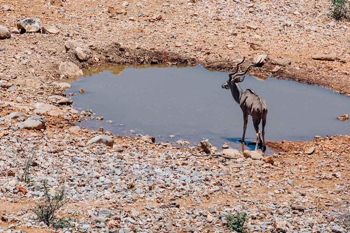 Wasserloch, Kudu