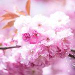 Blütenpracht am Baum